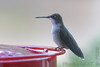 """Ruby-throated Hummingbird (juvenile male) <span class=""""spacer_LB_caption""""> • </span> <br> Front yard <span class=""""spacer_LB_caption""""> • </span> <br> City of Bridgeton <span class=""""spacer_LB_caption""""> • </span>  <br> St. Louis County, Missouri <span class=""""spacer_LB_caption""""> • </span>   <br> 2020-09-28"""