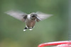 """Ruby-throated Hummingbird (juvenile male) <span class=""""spacer_LB_caption""""> • </span> <br> Front yard <span class=""""spacer_LB_caption""""> • </span> <br> City of Bridgeton <span class=""""spacer_LB_caption""""> • </span>  <br> St. Louis County, Missouri <span class=""""spacer_LB_caption""""> • </span>   <br> 2020-09-29"""