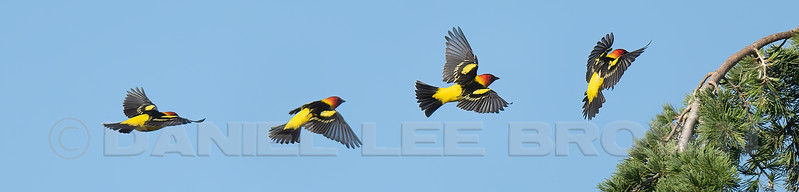 Western Tanager, Rosemont, Sac, Co, CA, 5-8-21. This is a 4 image photomerge produced in Photoshop.