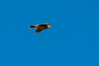 Skylark Ascending 2298--2.jpg