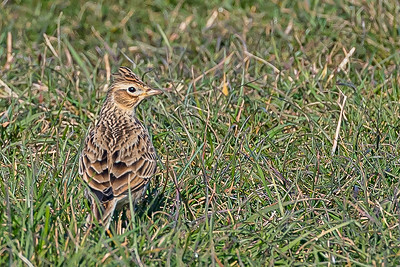 Skylark looking alert