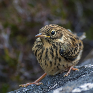 Skylark youngster Castle Tioram 7839.jpg