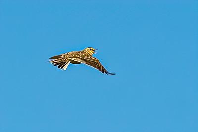 Skylark Ascending 2279--2.jpg