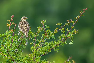Skylark on Hawthorn 6246-.jpg