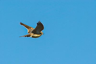Skylark Ascending 2277--2.jpg
