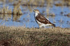 "Ferruginous Hawk <span class=""spacer_LB_caption""> • </span> <br>  Just east of Hwy TT and 703 intersection <span class=""spacer_LB_caption""> • </span> <br> Hornersville area <span class=""spacer_LB_caption""> • </span> <br> Dunklin County, Missouri"