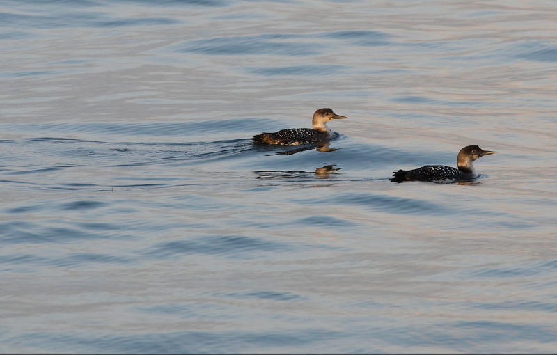 Common Loon's
