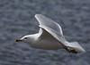 Sea Gulls 4-9-2016