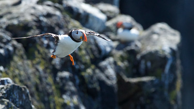 Puffin in flight