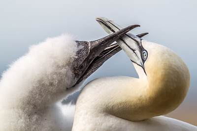 Gannet Chick & Mother