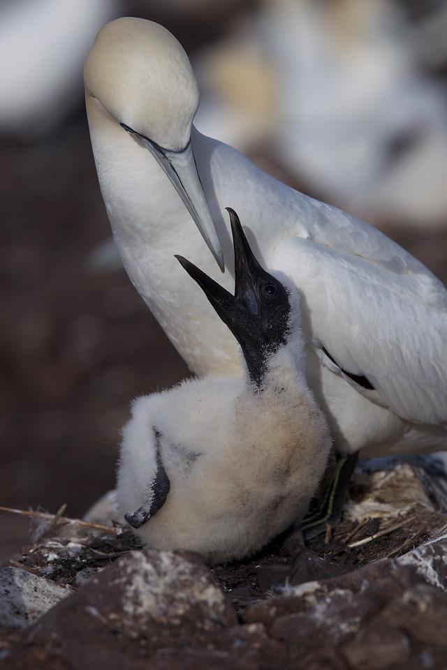 Gannet mother feeding chick