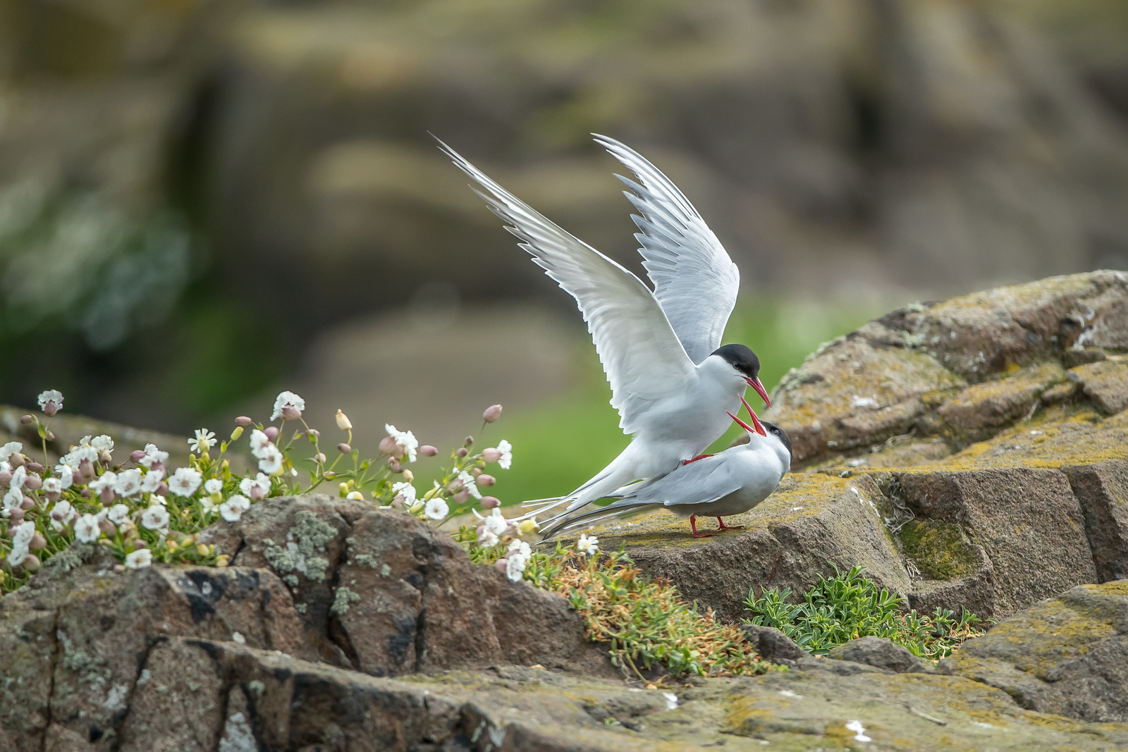 Common Tern mating