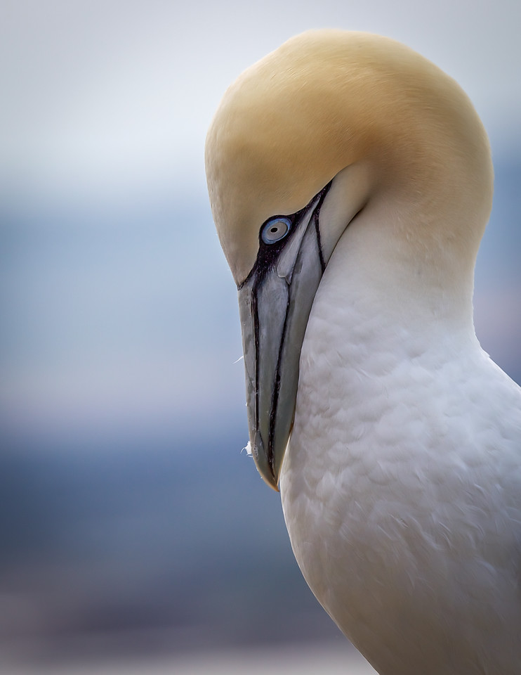 Lonely Gannet