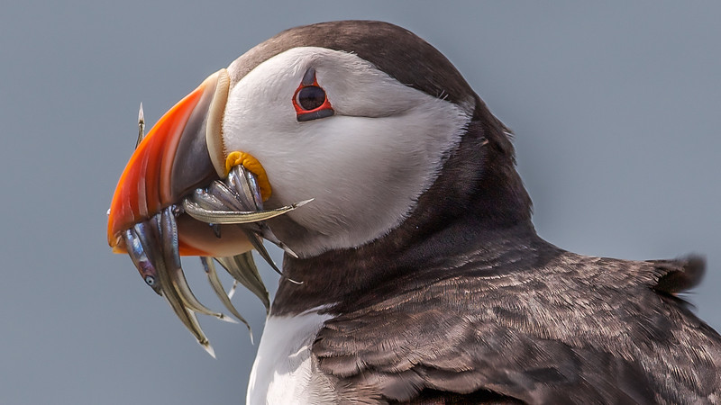Puffin with sand-ells