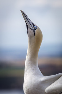Gannet sky pointing