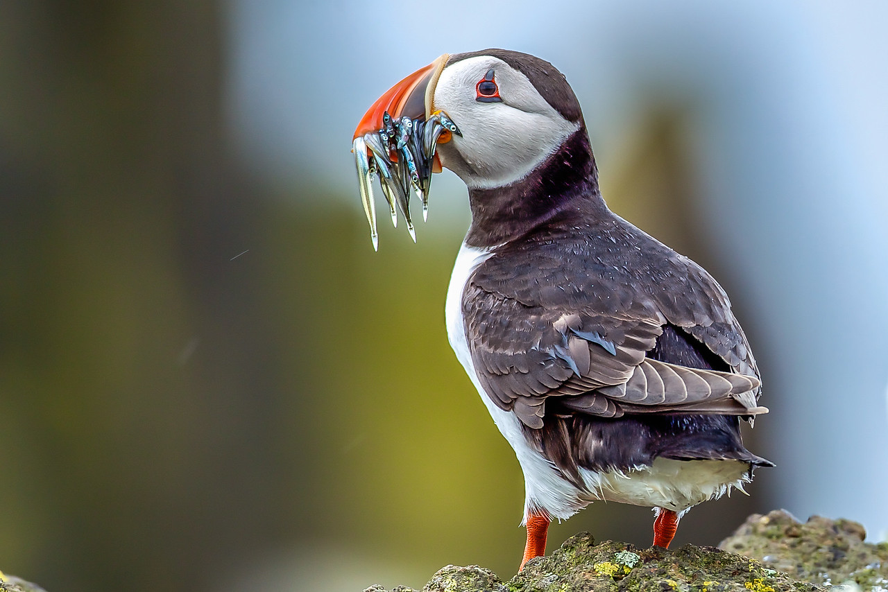 Puffin with sand-eels