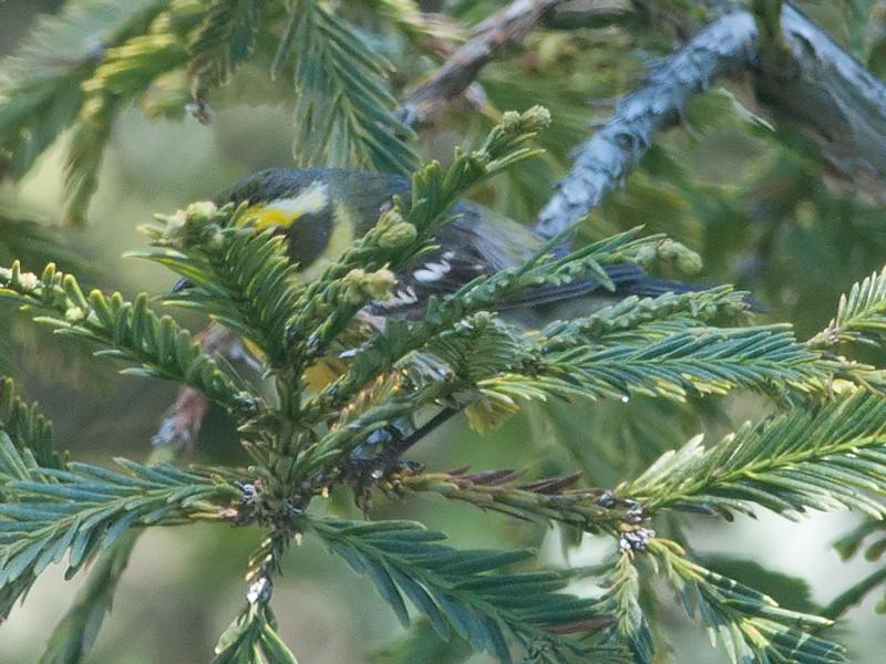 Oddball Townsend's Warbler