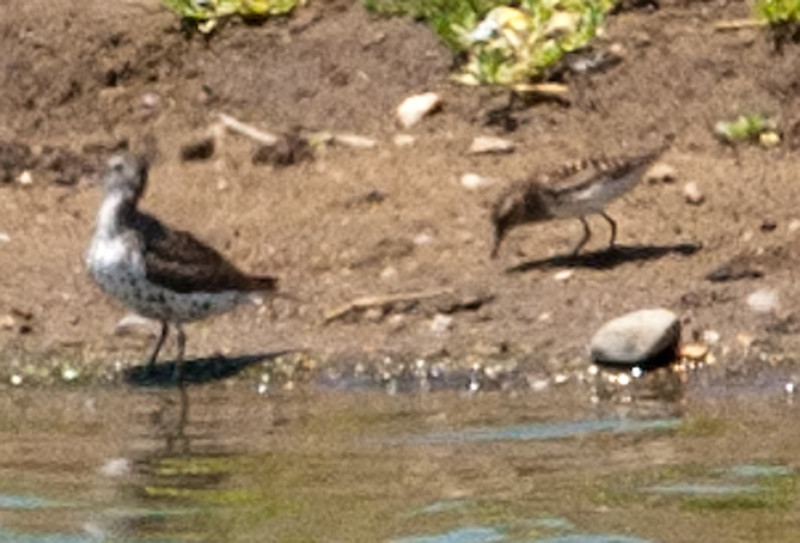 Least Sandpiper & Spotted