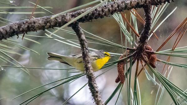 Grace's warbler