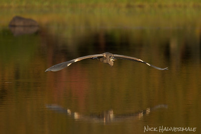 Great Blue Heron Fall Fly in