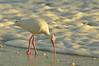 American White Ibis (Eudocimus albus) Waterside Inn Beach, Sanibel<br /><br />A study in White Ibis, feeding.