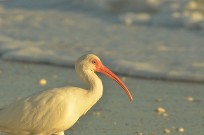 A Study in American White Ibis