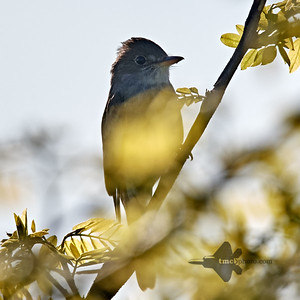 Tyrant Flycatchers, Pewees, Kingbirds