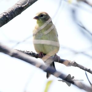 American Goldfinch_2019-08-25_1