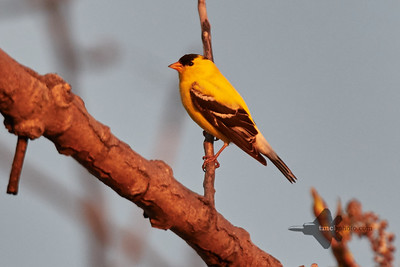 American Goldfinch_2019-05-18_2