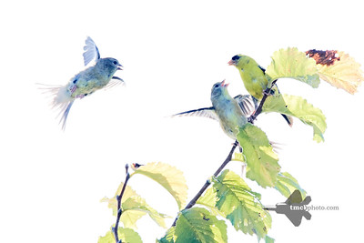 American Goldfinch_2019-08-25_5