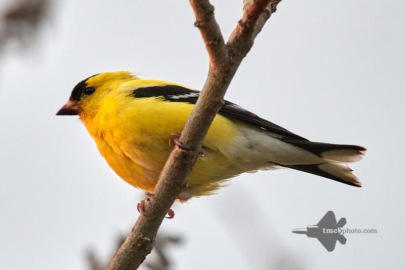 American Goldfinch_2019-06-01_1