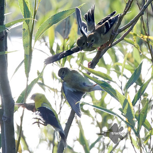American Goldfinch_2019-08-25_4