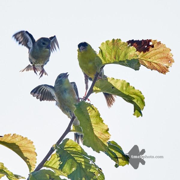 American Goldfinch_2019-08-25_6