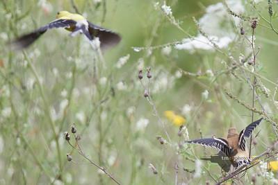 American Goldfinch_2019-08-18_1