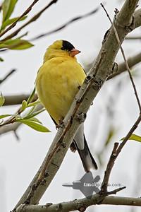American Goldfinch_2019-05-18_7