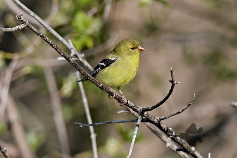 American Goldfinch_2019-05-18_4
