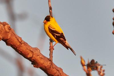 American Goldfinch_2019-05-18_1