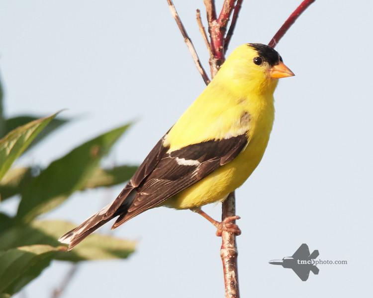 American Goldfinch_2019-07-21_1