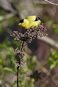 American Goldfinch_2019-05-18_5