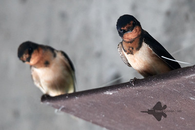 Barn Swallow_2019-08-18_1