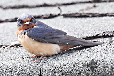 Barn Swallow_2019-05-11_2