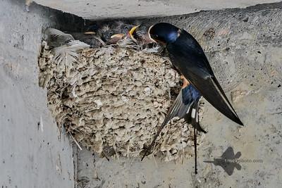 Barn Swallow_2019-06-01_10