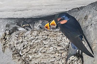 Barn Swallow_2019-06-01_2