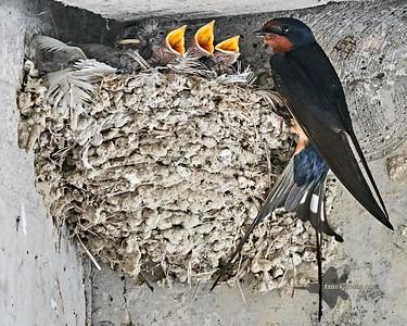 Barn Swallow_2019-06-01_9