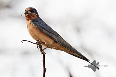 Barn Swallow_2019-05-18_1