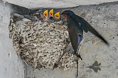 Barn Swallow_2019-06-01_8