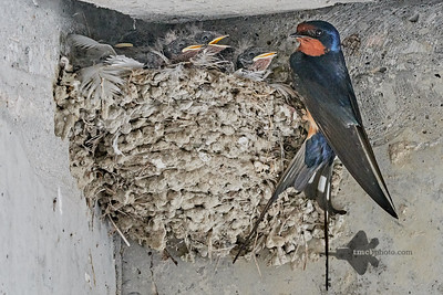Barn Swallow_2019-06-01_11