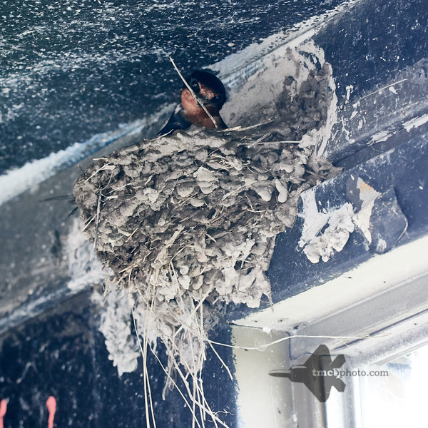 Barn Swallow_2019-05-18_3