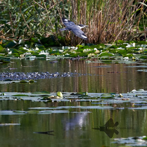 Belted Kingfisher_2019-09-08_7
