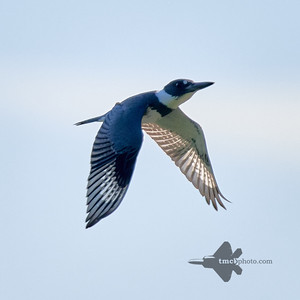Belted Kingfisher_2019-09-08_5